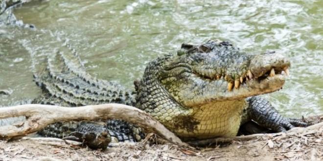 e vërteta e lotëve të krokodilit