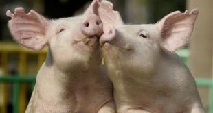 Pse myslimanët nuk e hanë mishin e derrit, ja 15 arsye