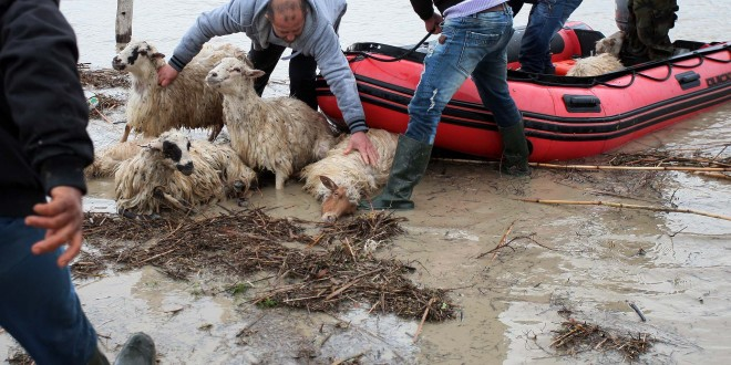 Banore te fshatit Darzeze ne Fier, duke evakuar bagetite, pas permbytjeve nga dalja nga shtrati i lumit Vjosa, duke permbytur rruge, shtepi dhe siperfaqe te medha tokash. Shume zona dhe rruge qe lidhin qytetet ne jugun e Shqiperise jane permbytur si pasoje e reshjeve te shiut te diteve te fundit./r/n/r/nFarmers transport sheep to higher ground after heavy rain caused the Vjosa River to burst its banks and flooded their village of Darzeze near the city of Fier on February 2, 2015. Floods caused by heavy rains over the last days have hit southern Albania, forcing the evacuation of hundreds of villagers after rivers flooded thousands of hectares (acres), hundreds of homes and many roads. Many areas in southern Albania had no power or water. Police urged residents to cancel travel plans and more intense rain was forecast to hit over the next few days. No casualties were reported.
