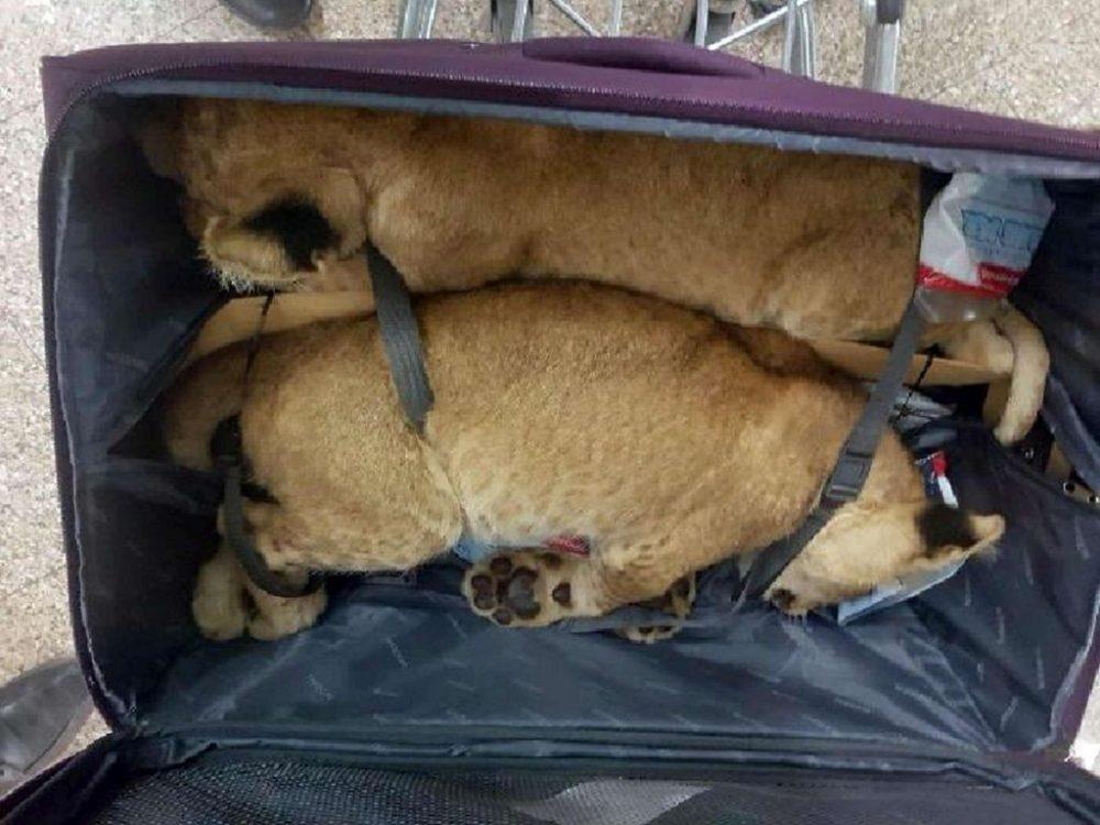 Nuk është shaka! Kapen në aeroport dy luanë të droguar në valixhe