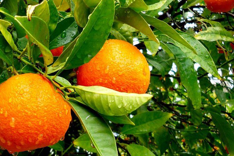 Një portokall në ditë, 7 përfitime të mrekullueshme për trupin e njeriut