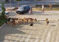 Amerikanët vijnë në Shqipëri për qentë e rrugës