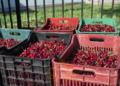 Fermerët e Dibrës presin qershitë: Vitin tjetër do mbjellim drogë!