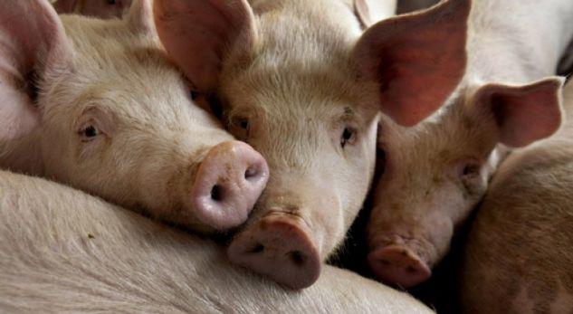Arsyet pse myslimanët nuk e hanë mishin e derrit