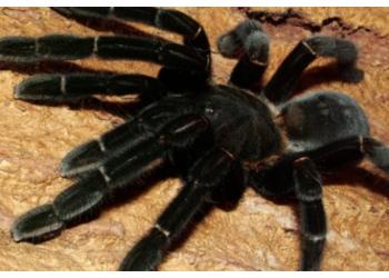 Gjirokastra në alarm, mjekët paralajmërojnë: Ruajuni nga merimanga e zezë