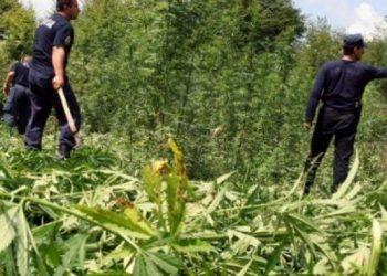 Policia korr kanabis nga Tepelena në Shkodër, por ende nuk prangos asnjë 'fermer kultivues'