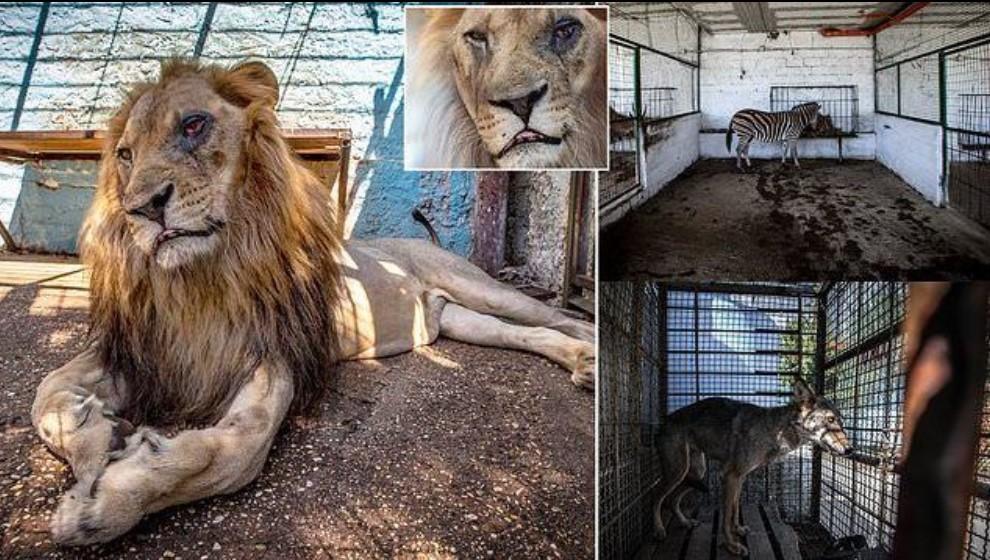 Kjo është gjendja e tmerrshme e luanit dhe kafshëve tjera në një kopsht zoologjik në Shqipëri (FOTO)