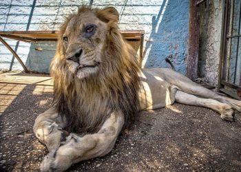 Shpëtohet nga policia luani i Fierit, i drobitur dhe me sy të nxirë