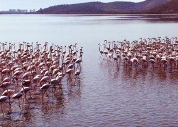 Pamje fantastike: Koloni flamingosh nga Zvërneci (FOTO)