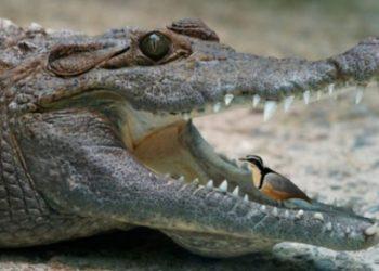 Interes reciprok, kjo është arsyeja pse zogu futet në gojën e krokodilit dhe ai nuk e ha kurrë