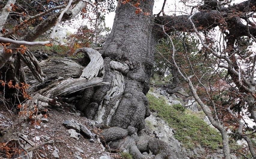 Pema më e vjetër në Europë vazhdon të rritet edhe sot