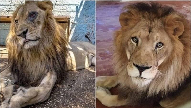 Një vit nga shpëtimi i tij, ja si është shndërruar luani 'Lenci' që u nxor nga 'Kopshti zoologjik i Ferrit' në Fier (FOTO)