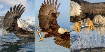 Shqiponja ka zbarkuar: Momenti kur ajo rrëmben një peshk të madh nga ujërat e Alaskës, me kthetrat e saj të mëdha