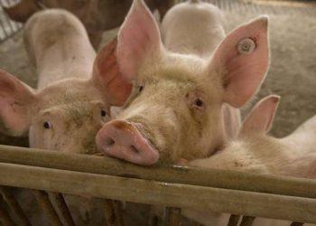 Një virus i ri i derrave kinezë, kandidat për pandemi
